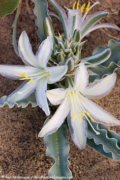 Stock photo of Desert Lily, Anza-Borrego Desert State Park, California Unusual Flowers, Unusual Plants, Rare Flowers, Rare Plants, Exotic Plants, Cool Plants, Amazing Flowers, Beautiful Flowers, Lilies Flowers