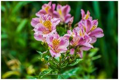 Love these pink alstromeria. We have some growing in our garden and I use this image as the logo for my GardenImagery business. The flower is Alstroemeriaceae (~Liliaceae) and it is a perennial, originally from Peru in South America. It loves the Australian climate.