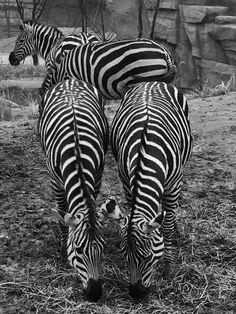 February 2, 2014  Safari Day  Black and white zebra stripes