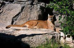 Cougar, Puma or Mountain Lion, Felis concolor Linnaeus 1771 ...