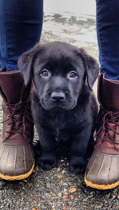 Adorable black lab puppy