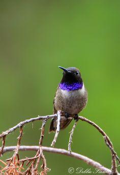 black-chinned hummingbird | bird + wildlife photography