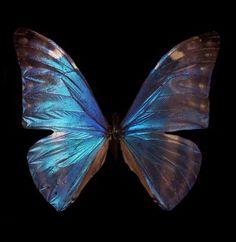 Pearl Morpho Butterfly Morpho sulkowski Framed