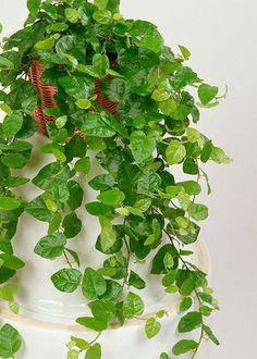 Risultati immagini per pianta rampicante facile da coltivare