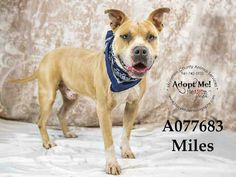 MILES - URGENT - located at Manatee County Animal Services in Palmetto, Florida - ADOPT OR FOSTER - Neutered Male Pit Bull Terrier - at shelter since April 3, 2016 - Miles is a VERY happy active boy! Big wiggle waggle. He enjoys he walks and exploring while walking. Loves to play and loves to learn. He knows sit and walks well on a harness.