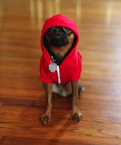 West Coast is having a meet up on the same day as East coast.    Blaine is ready!!!!    socalbrusselsgriffons:    Blaine is excited about seeing his Griff Gang at the Brussels Griffon Hoodie Convention on 2/24! It better not rain again or he will be pissed!