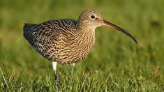 curlew - Google Search