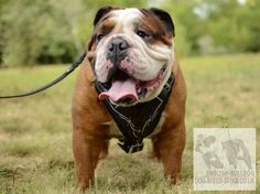 English Bulldog harness with barbed wire hand painting is the best dog accessory for your Bulldog. Be sure, your Bully will have incredible look and will feel great comfort with this designer dog harness. Barbed Wire, English Bulldogs, Dog Harness, Dog Accessories, Feeling Great, Best Dogs, Dog Breeds, Pitbulls, The Incredibles