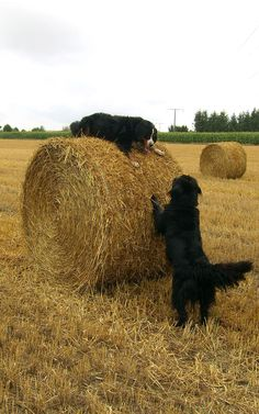 Oh what a fun great pic of two big dogs playing on a farm! Bernese mountain dog and a black Setter. Makes me happy!