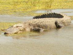 Gator seen from marsh buggy.