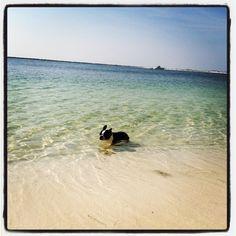 My Boston Terrier.. In the white sands of Destin !