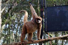 Macaco Muriqui no Zoológico de Curitiba - Álbum - Prefeitura de Curitiba. Foto: Valdecir Galor/SMCS