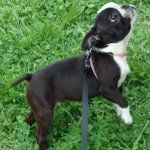 Boston Terrier Pictures - Page 2