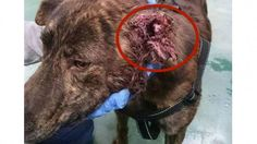 Gentle dog has ear ripped off after being used as bait for fights! Demand Justice! | YouSignAnimals.org