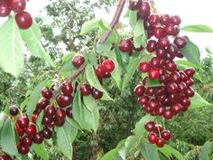 CHERRY PICKING - Cherry time is last week November till end December. Do come and visit us and pick-your-own cherries on Klondyke Farm. Enjoy a really fun outing with the whole family. Cherry Farm, Cherry Fruit, Types Of Cherries, Cherry Picking, December, Fun, Gardening, Explore, Travel