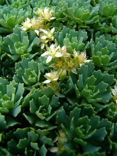 Rhodiola pachyclados Afghani sedum Sedum pachyclados is an excellent groundcover plant, particularly for hot, dry sites with poor soil.