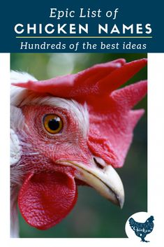 The leghorn is one of the most popular breeds of chicken to raise! Find out why you need this awesome breed. Funny Chicken Names, Chicken Humor, Chicken Coops, Best Egg Laying Chickens, Raising Backyard Chickens, Backyard Farming, Chicken Treats, Chicken Eggs, Leghorn Chickens