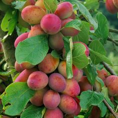 Prunus Victoria Plum Fruit Tree Supplied in a Litre Pot UK Fruit Bushes, Fruit Plants, Fruit Garden, Garden Trees, Trees To Plant, Fresh Fruits And Vegetables, Fruit And Veg, Veggies, Vegetables Garden
