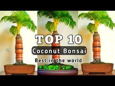 10 อันดับ บอนไซมะพร้าวสวยที่สุด(Coconut Bonsai best in the world) - YouTube Bonsai, Coconut, World, Youtube, Plants, The World, Bonsai Trees, Bonsai Plants, Flora