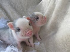 Valley Blossoms are the smallest and cutest teacup pigs or micro pigs bred in Canada Teacup Piglets, Baby Piglets, Cute Piglets, Cute Baby Animals, Funny Animals, Farm Animals, Pig Breeds, Miniature Pigs, Mini Pigs