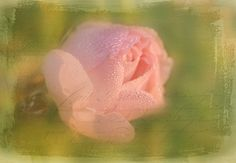 Nobody knows this little Rose | Flickr - Photo Sharing!