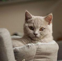 Perzská zlatá mramorovaná mačička s PP Predaj - fenky farba čierna a hnedá vek osem týždnov očkovane a odčervene, čip a pas cena od.