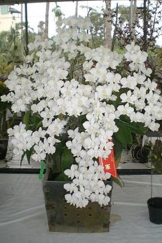 Distinctive Gifts Mean Long Lasting Recollections Phalaenopsis Aphrodite Rare Flowers, Exotic Flowers, White Flowers, Beautiful Flowers, Orchids Garden, Orchid Plants, Exotic Plants, Dendrobium Orchids, Orchidaceae
