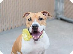 Manhattan, NY - American Pit Bull Terrier Mix. Meet Foxy, a dog for adoption. http://www.adoptapet.com/pet/16418623-manhattan-new-york-american-pit-bull-terrier-mix
