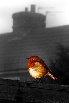 https://flic.kr/p/7iLGJ5 | Robin Red Breast | © All rights reserved  So bright in a grey world
