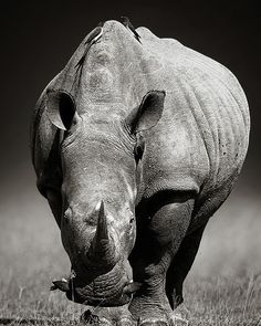 White Rhinoceros front view Poster by Johan Swanepoel. All posters are professionally printed, packaged, and shipped within 3 - 4 business days. Choose from multiple sizes and hundreds of frame and mat options. Rhino Tattoo, White Rhinoceros, Black And White Canvas, Thing 1, Canvas Art Prints, Framed Canvas, Framed Prints, Behr, Wildlife Photography