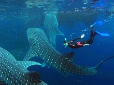Whale Sharks, the gentle giants of the deep, known to reach up to in length, can be found in the waters around Isla Mujeres, Contoy and Holbox. Visit Gilberto at Carey Dive Center to schedule a trip to snorkel and swim with the largest fish in the ocean. Whale Shark Diving, Swimming With Whale Sharks, Scuba Diving, Whales, Galapagos Diving, Padi Diving, Bohol, Delphine, Galapagos Islands