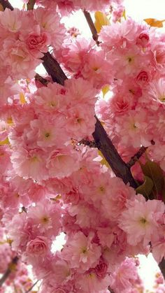 These sakura (cherry blossom) bloom a little later, are double petals and are a brighter pink. My Flower, Pretty Flowers, Flower Power, Flower Tree, Blossom Flower, Sakura Bloom, Blossom Trees, Cherry Blossoms, Spring Blossom