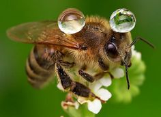 A Bee balances two water droplets on its back as it perches on a Flower. It was amazing how it was just delicately balanced on his back