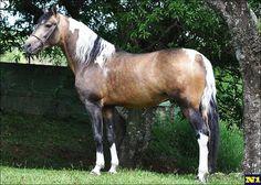 Mangalarga Marchador - stallion JJ Fabuloso Recanto Haras Maísa