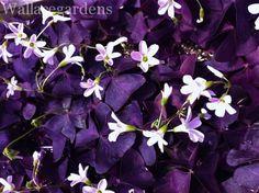 Purple Shamrock for the shade garden: Oxalis Triangularis