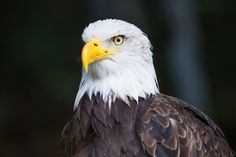 Before Trump was elected, the U.S. was poised to phase out lead ammunition, which poisons up to 20 million birds every year. Gulliver's chances didn't seem high when a caring person saw him fall from a tree and called animal control. Gulliver, abeautiful bald eagle, was the victim of acute lead poisoning. He couldn't stand or even hold his head up. His bloodwork showed a lead level of 94.2, startlingly higher than the normal level of 6-12μgdL (micrograms of lead per deciliter of bloo...