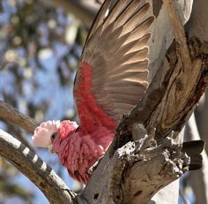 Galahs are a parrot common all over Australia. Their pink and grey feathers and raucous calls are familiar to everyone. #Australia #birds #wildlife