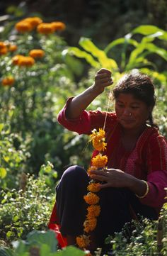 Image detail for -Nepal, Kathmandu, Markhu Valley. Woman threading Marigolds for a garland in preparation for the Tihar Festival.