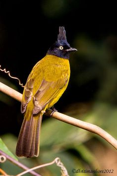 Black-Crested Bulbul is found from the Indian Subcontinent to southeast Asia.