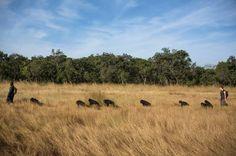 Keeper Sekou Kourouma takes the nursery group across the savannah during their daily bushwalk