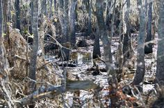 Known as the haunted swamps, Manchac Swamp in Louisiana is said to be cursed by a voodoo queen when she was take a prisoner in the beginning of the 20th century. This resulted in disappearance of three hamlets in a hurricane in 1915. The place is only visited by few tourists that float in their torch boats under the shady and quite scary looking ancient Cyprus tress and their hanging long threading moss.
