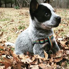 Playin in the leaves #piper #blueheeler #heelernation #heelergram #dogsofinstagram #puppiesofinstagram #dog #puppy #leaves #outside #woof #playing #heelerlove #heelersofinstagram by pipertheblueheeler11