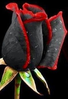 Black and red rose | Outdoor Areas