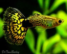 cool Aquarium Fish for Sale by http://www.dezdemon-exoticfish.space/freshwater-fish/aquarium-fish-for-sale/
