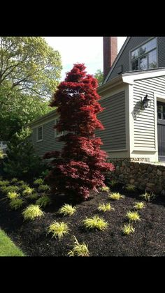 Acer Palmatum Twombly ' Red Sentinel