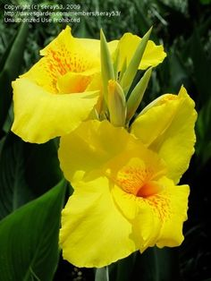 83 best cannas yellow images on pinterest canna lily nature and full size picture of canna lily richard wallace mightylinksfo