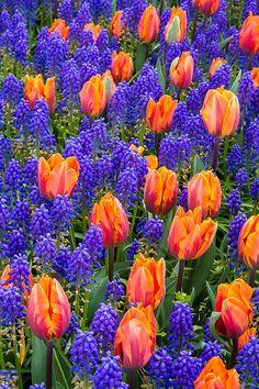 Blue Hyacinths & Tulips