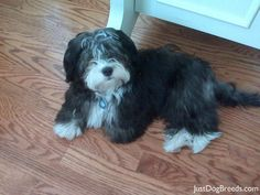 Havanese - this is what my dog will probably look like when she grows up Havanese Puppies, Cute Puppies, Cute Dogs, Dogs And Puppies, Tibetan Terrier, Super Cute Animals, Dog Behavior, Little Dogs, Beautiful Dogs