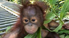 Josh is an orphaned baby Orangutan from Borneo who lives at the Samboja Lestari Wildlife Center in Borneo. Read his sad story right now. Orangutan Monkey, Borneo Orangutan, Beautiful Creatures, Animals Beautiful, Baby Animals, Cute Animals, Types Of Monkeys, Mountain Gorilla, Cute Monkey