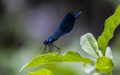 Electric blue dragonfly by Cristian Petri on Blue Dragonfly, Electric Blue, Plant Leaves, Creatures, Animal Photography, Nature, Insects, Sweet, Photos